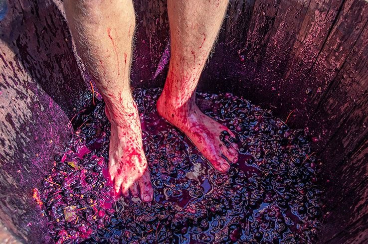 Stomping grapes at Enoch's Stomp Winery