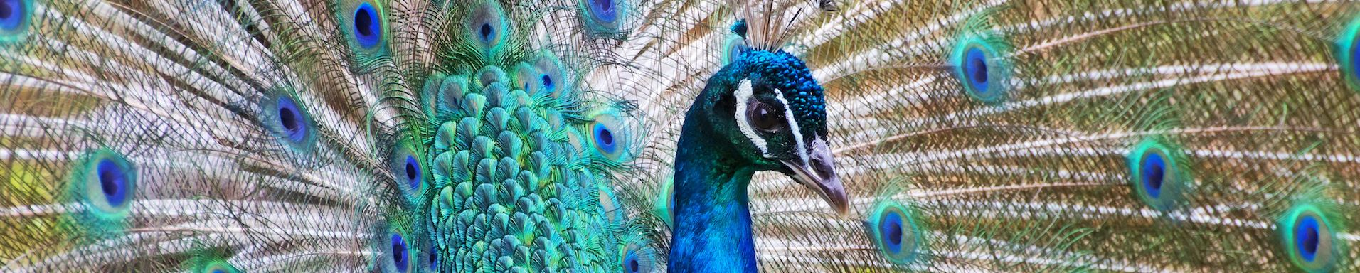 peacock with beautiful plumage